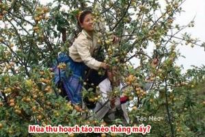 Mùa thu hoạch táo mèo là vào thời gian nào?